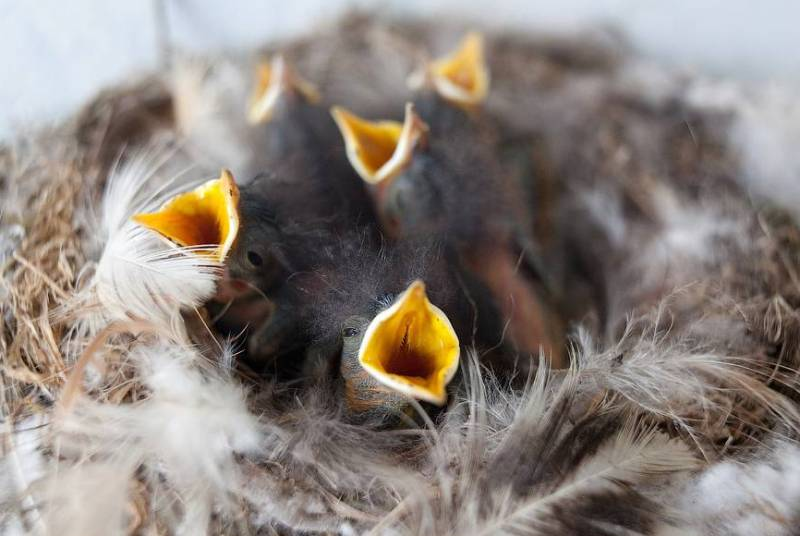 Птенцы гнездо