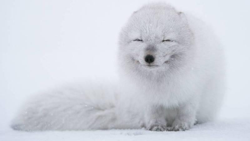 животное радость песец