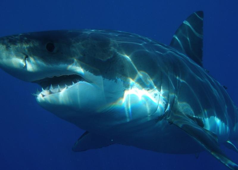 Белая акула. Фотоисточник