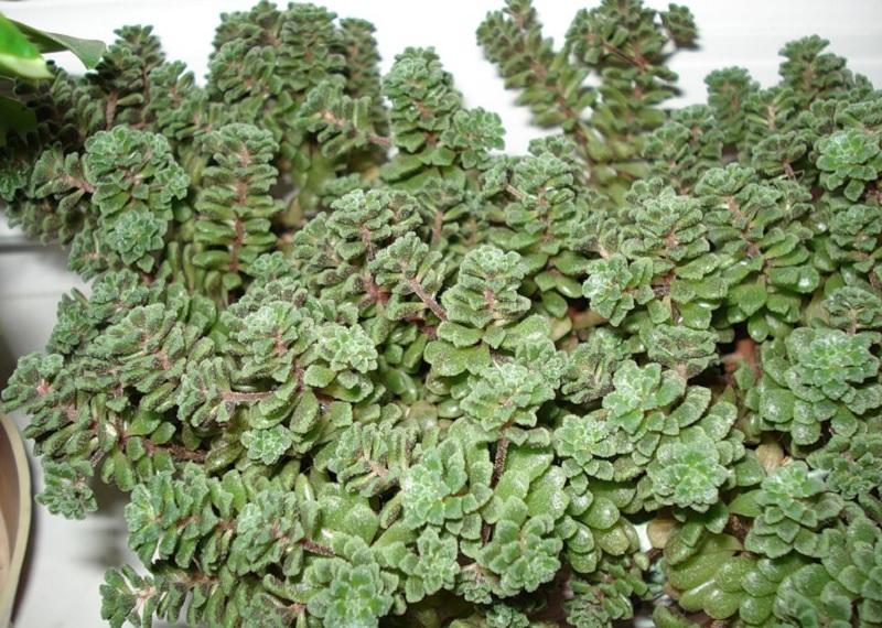 Монантес, комнатные растения, декоративные растения