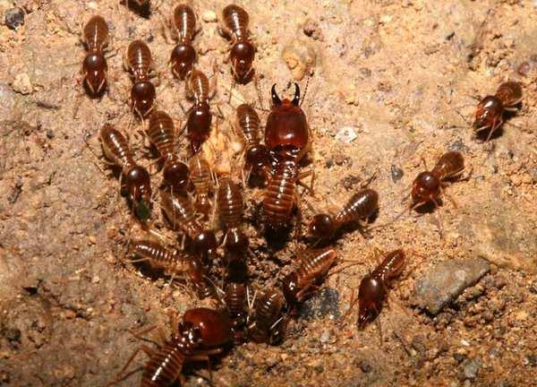 Термиты (лат. Isoptera). Как устроен термитник? Ратные термиты