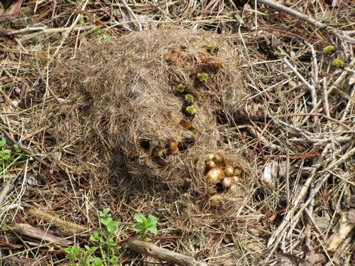 Гнездо шмелей где живут шмели