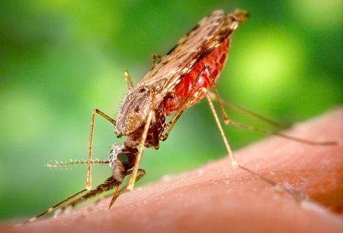 Чем отличаются москиты от комаров. Чем отличается комар от тампона? Как их отличить
