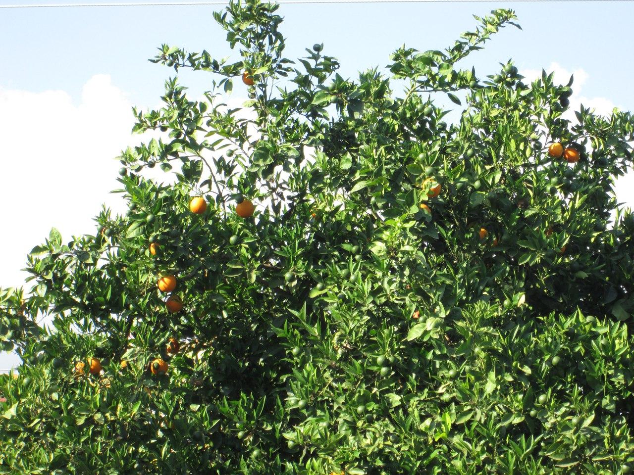 Как растут апельсины. Апельсины в Турции