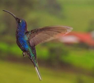 ♂ Colibrí morado, Violet Sabrewing (Campylopterus hemileucurus)