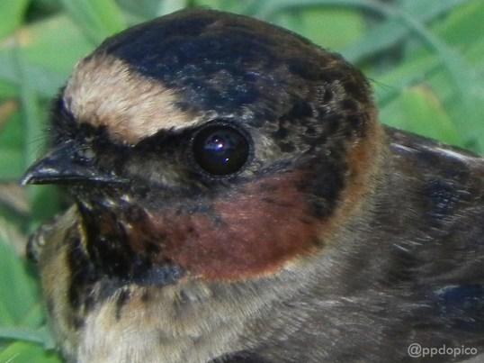 Golondrina común [Barn Swallow] (Hirundo rustica). Divi Village Golf and Beach Resort de Aruba.