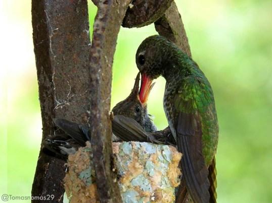 Hembra de colibrí de pecho blanco o diamante gargantiverde, [Glittering-throated Emerald] (Amazilia fimbriata) alimentando a dos pichones. Cerro Verde-Caracas-Venezuela Foto: Tomás Fernández