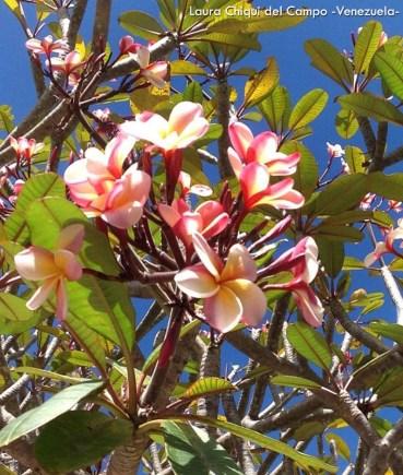 Foto® Laura Chiqui Del Campo (Venezuela): Detalle de la floración del árbol Amapola (Plumeria rubra) familia Apocynaceae, Dispersos en el hornato de las ciudades y casas siempre hay alguno floreado.