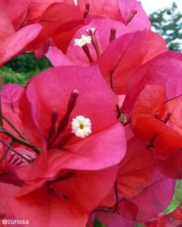 Foto® @Curiosa (Venezuela): Trinitaria ( Bougainvillea spp.)