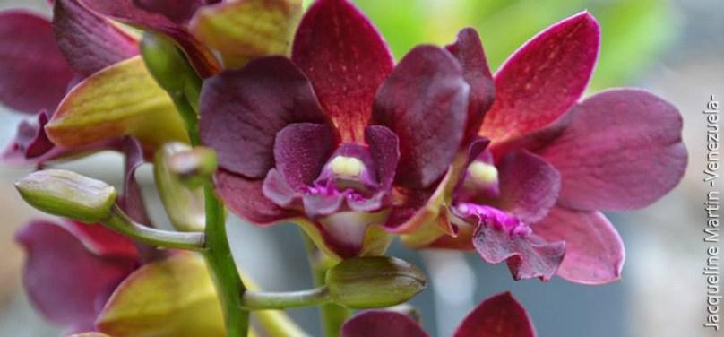 Foto® Jacqueline Martin (Venezuela): Dendrobium (sin identificación).