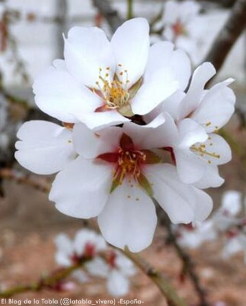 Foto® El Blog de la Tabla (@latabla_vivero) Valencia-España: Almendro (Prunus dulcis) .