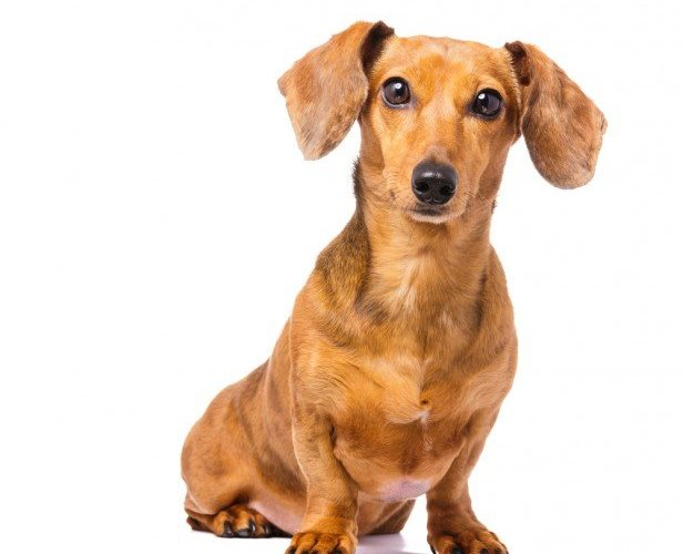 Chicago Apartments, Apartment Dog Breeds, Dachshunds