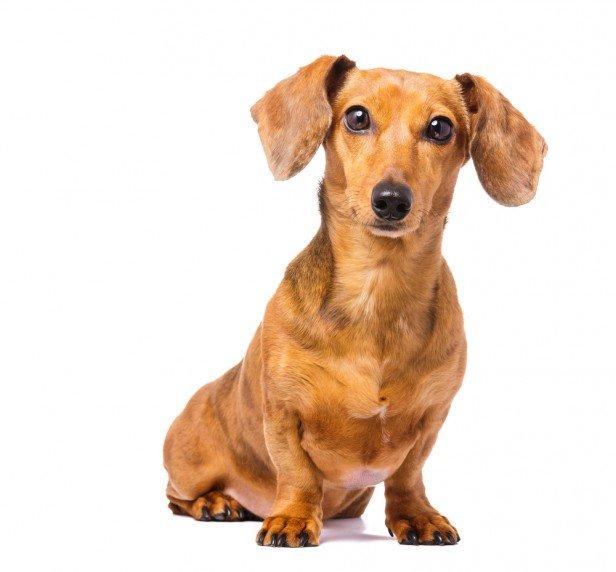 Chicago Apartments, Apartment Dog Breeds, Dachshund