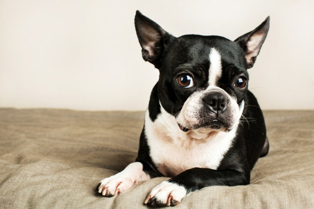 Chicago Apartments, Apartment Dog Breeds, Boston Terrier