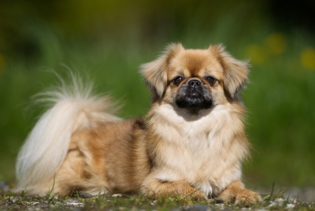 Chicago Apartments, Apartment Dog Breeds, Tibetan Spaniel