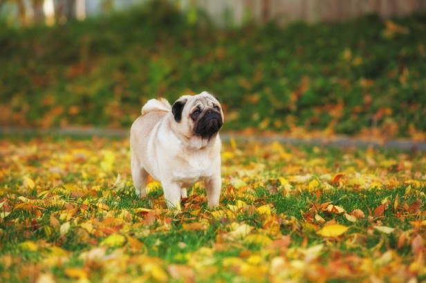 Chicago Apartments, Dog Lovers, Pug Lovers