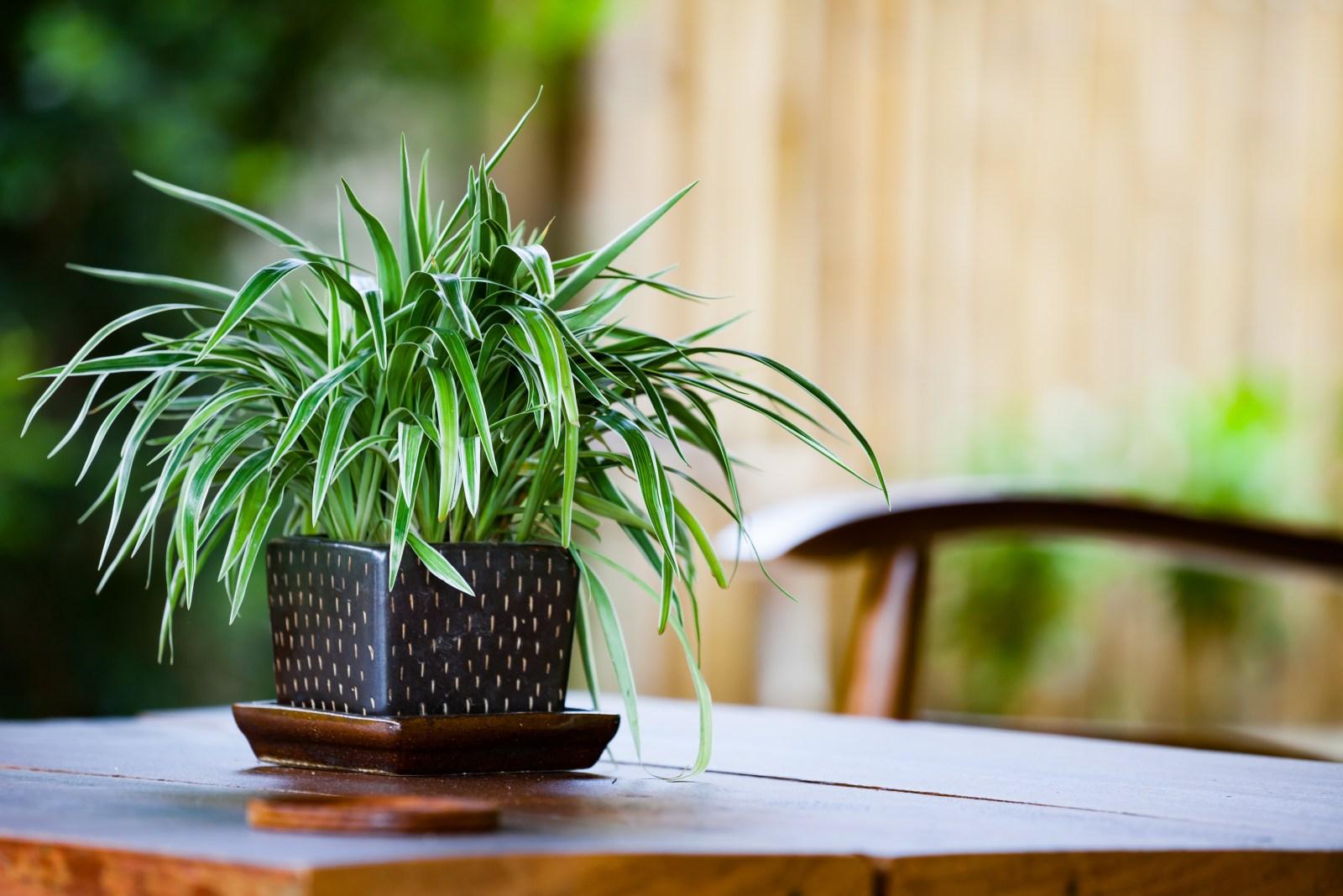 Chicago Apartments, Beginner Houseplants, Spider Plant