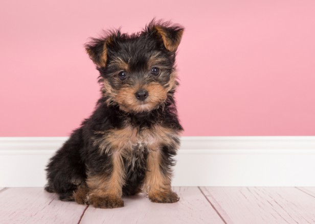 Chicago Apartments, Hypoallergenic Dogs, Yorkshire Terriers