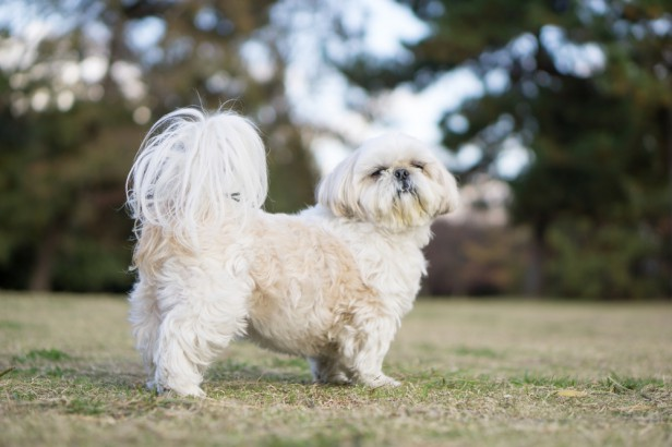 Chicago Apartments, Small Dog Breeds, Shih Tzus