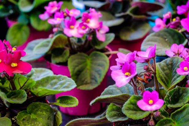 Chicago Apartments, Pet-Friendly Houseplants, African Violet
