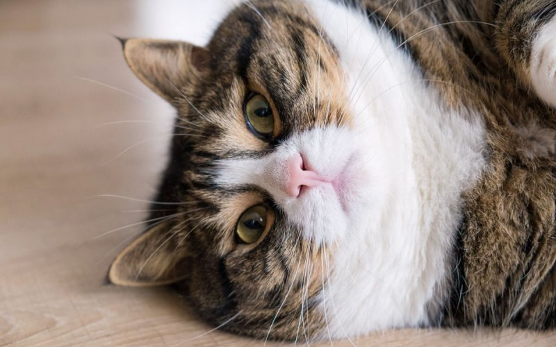 cat weight loss tips