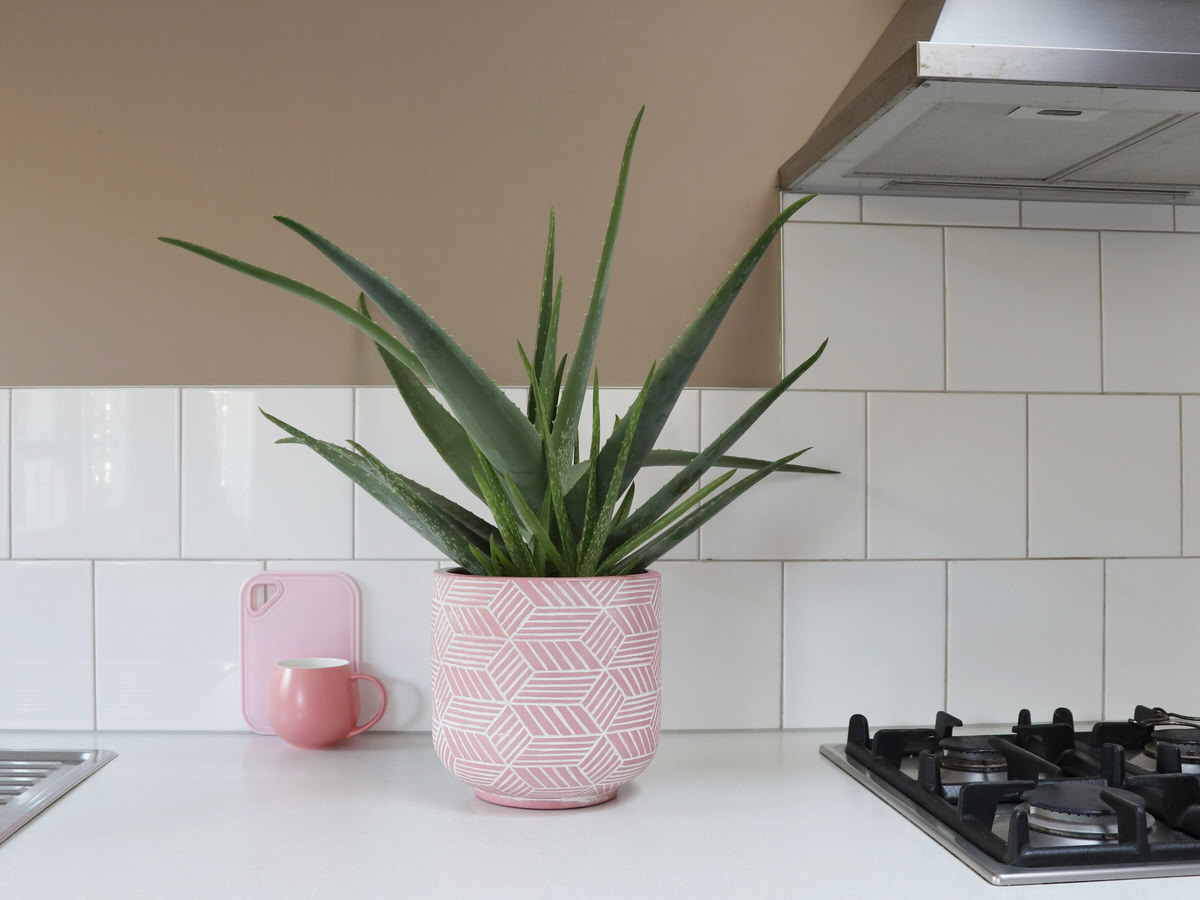 Caring For An Aloe Plant