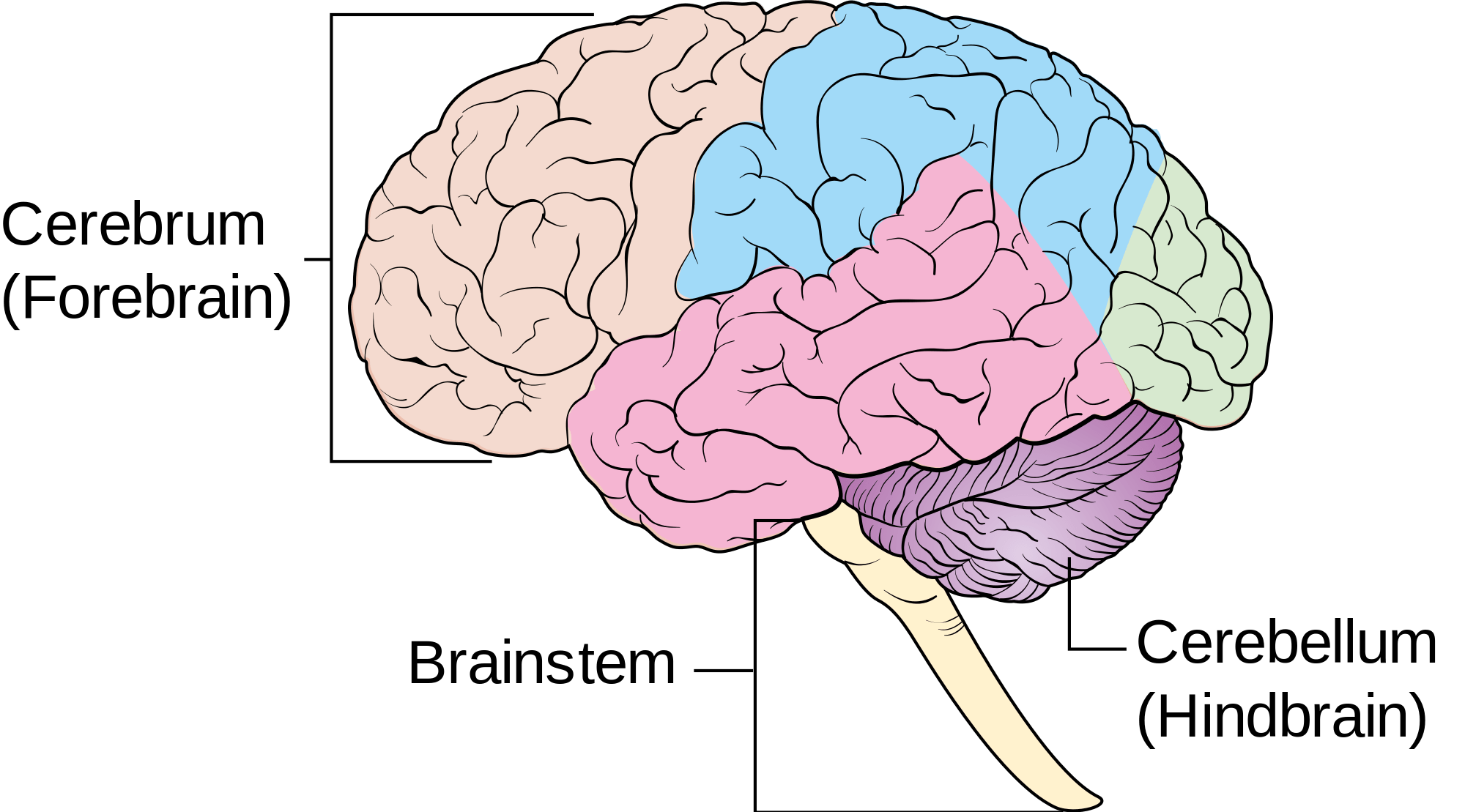 Brain And Nervous System Part 2