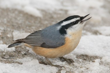 Red-breasted Nuthatch at the Morgan Arboretum