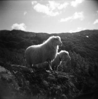 Noors schaap. Holga 120 CFN met Lomography Earl Grey 100 film.