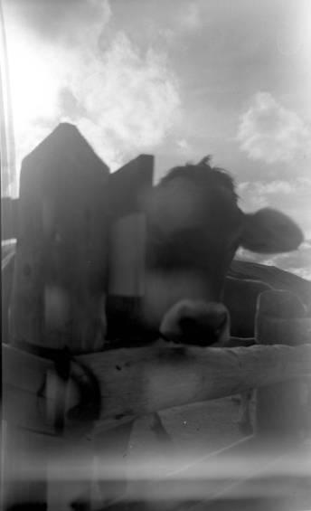 Italiaanse koe. Balda Poka met Fuji Acros 100 film.