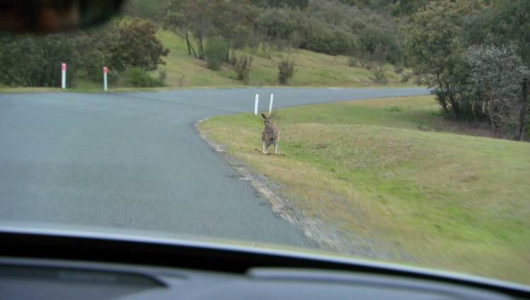 Volvo developing kangaroo detection and collision avoidance technology