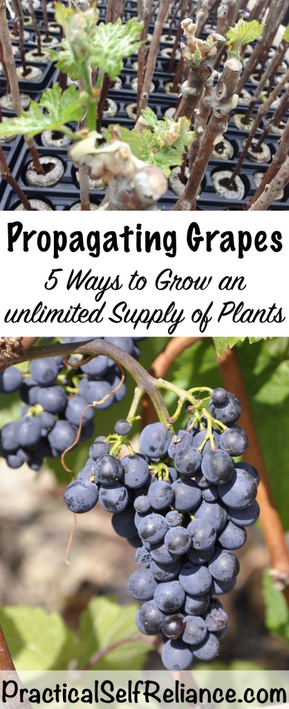 Propagating Grapes- 5 Ways to Grow an Unlimited Supply of Plants #grapes #growinggrapes #growgrapes #permaculture #howtogrow #orchard #homesteading #growingfood #trees #perennial #selfsufficiency #gardeningtips