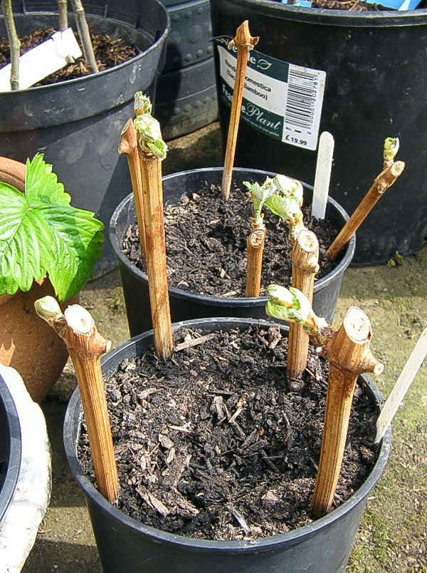 Propagation of grape vines by hardwood cuttings. Photo by Mark Shirley (CCBY)
