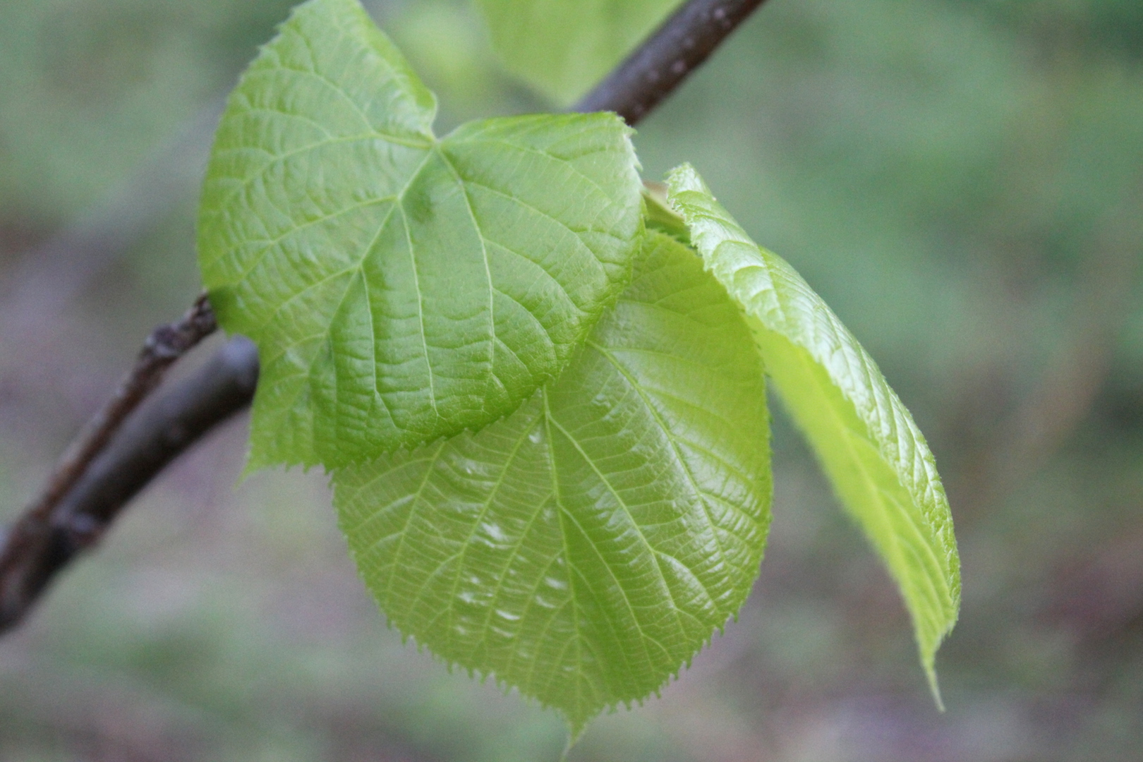 Young Linden Leaves