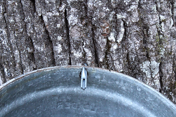 A linden tree tapped for syrup.