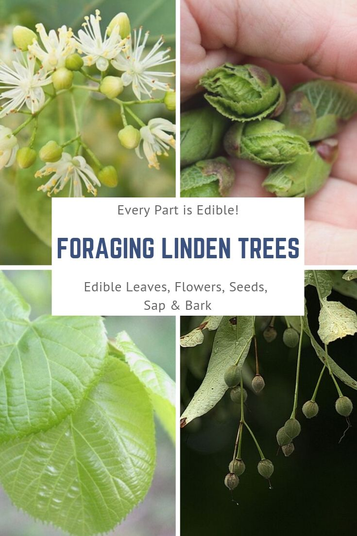 Foraging Linden Trees ~ Every Part is Edible ~ Linden trees are an amazing edible tree, with medicinal flowers and delicious edible leaves. The leaves make tender wild salad green, and the flowers are a well known herbal tea. Beyond the leaves and flowers, every part of linden is edible from the seeds to the bark as well. #foraging #herbal #herbalmedicine #wildfood