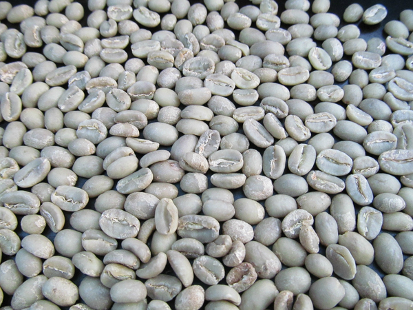 Green Coffee Beans Ready for Home Roasting