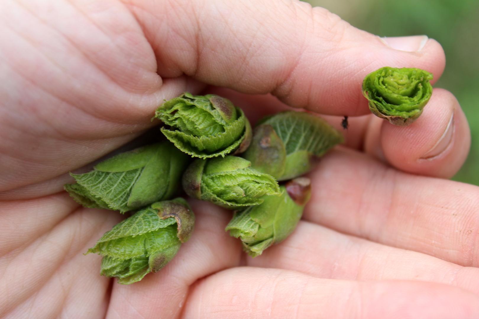 Linden Leaf Buds