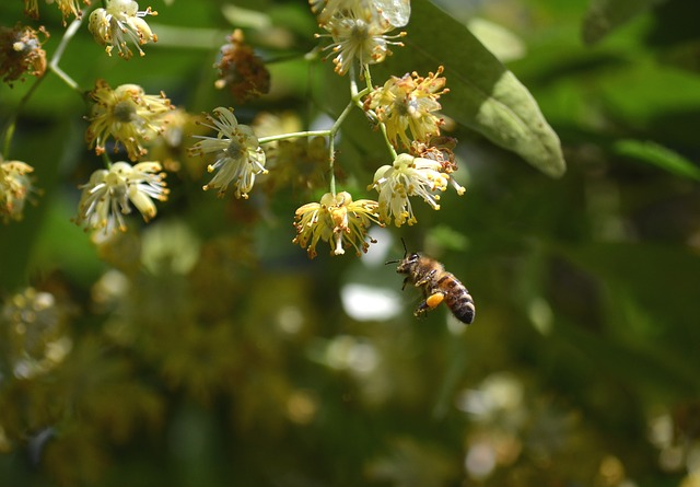 bee collecting nectar from linden flowers