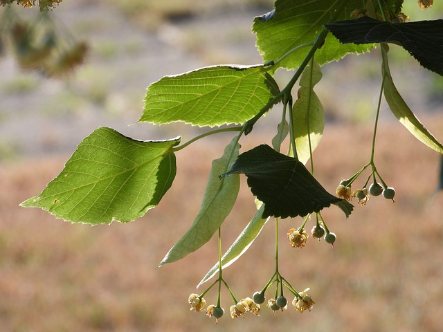 Linden flowers past their prime. They're already started to disintegrate and form into linden seed pods.