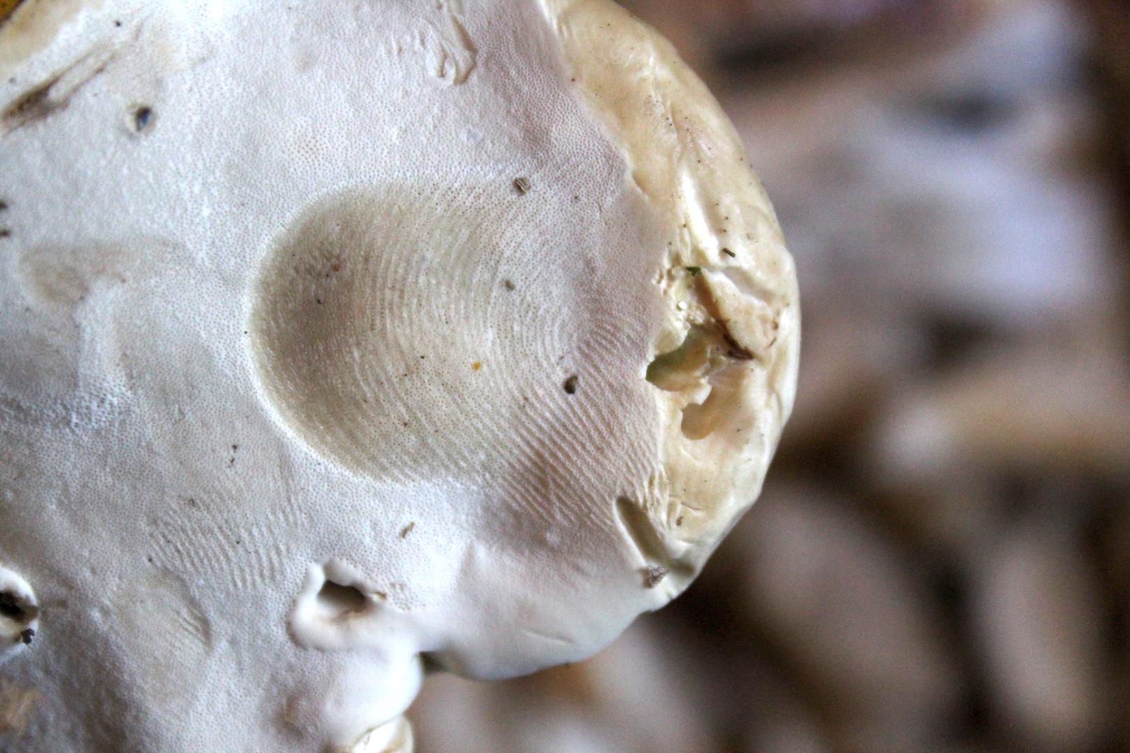 Bruised Reishi Mushroom