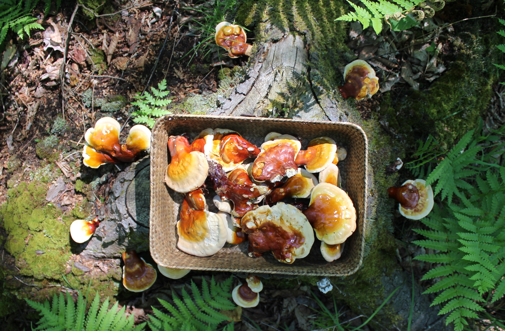 Harvesting Reishi Mushrooms