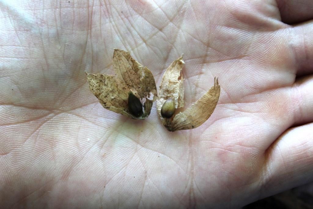 Edible Hornbeam Seeds in Paper Husks