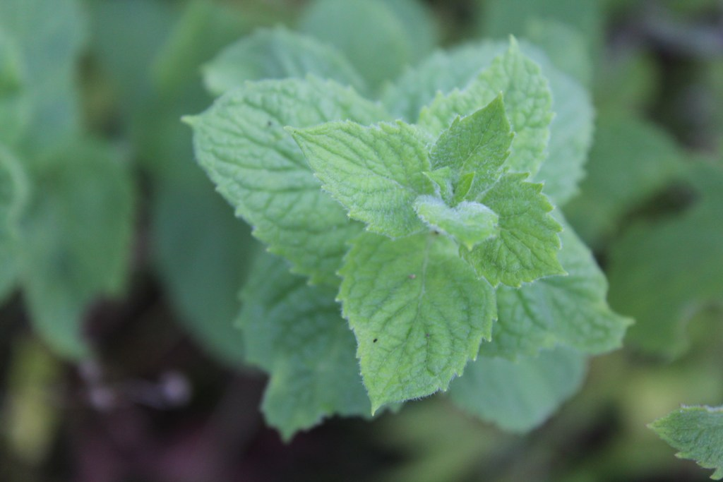 How to Grow and Use Apple Mint