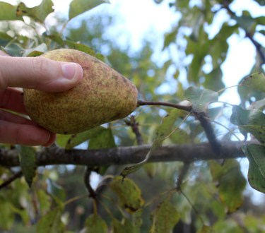 How to Pick the Perfect Pear – Tips for Harvesting