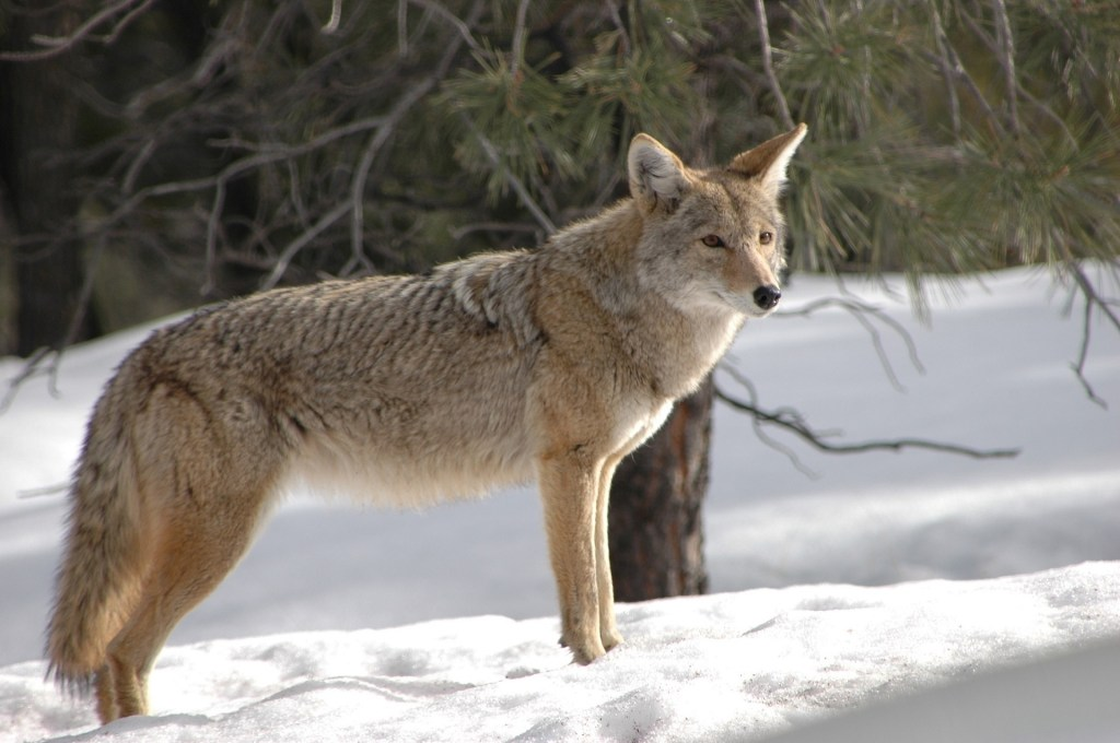 What does coyote taste like?