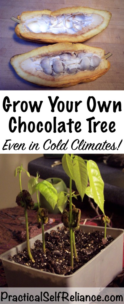 How to Grow Your Own Chocolate Tree (Even in Cold Climates) #chocolate #r#farmlife #homesteadingit #lifeouthere #homestead #simpleliving #backyardfarm #homesteading #nothingisordinary #instagood #farmlifebestlife  #farmlove #farmliving #familyfarm  #homesteadlife #consciousliving #selfreliant #farmscene #homestead #homesteading  #farm #farming #farms #farmpictures  #smallfarm #farmphotos  #sustainableliving #foodmatters  #coldclimate #indoorgardening #orchard #coldweathergardening #wintergardening #homesteading #selfsufficiency #selfreliant #preparedness