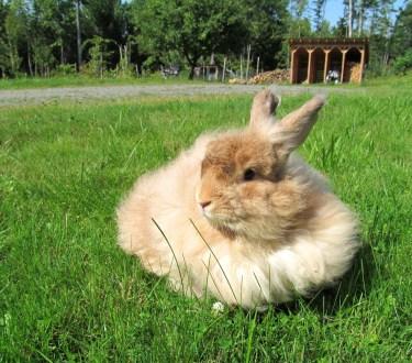 Raising Angora Rabbits for Fiber