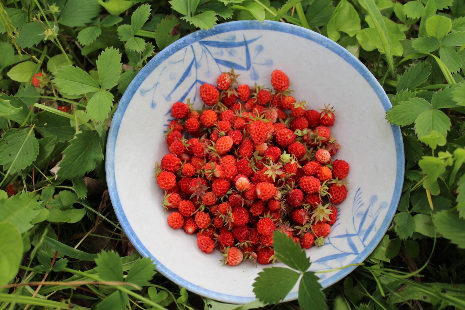 Wild foraged alpine strawberries