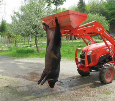 Processing a Pig at Home: Slaughtering and Butchering